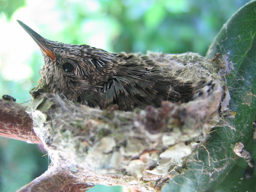 Baby hummingbird May 30 2008