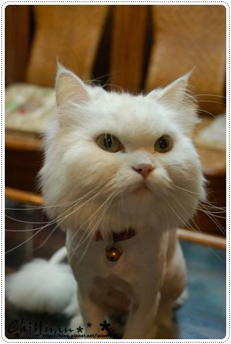 【貓季】剃毛沙龍照