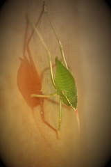 Common True Katydid (Jilroy Frosting Psmith) Tags: katydid texashillcountrybugs