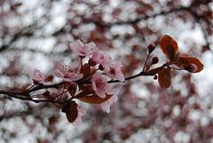 365:2010_097 Pink Blossoms (seustace2003) Tags: pink spring nederland lente paysbas printemps niederlande roze weert paesibassi april7th 3652010 365the2010edition