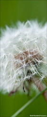 Dandilion (Stuart-Saunders) Tags: flower up nikon close maco nikkor 105mm danilion d90