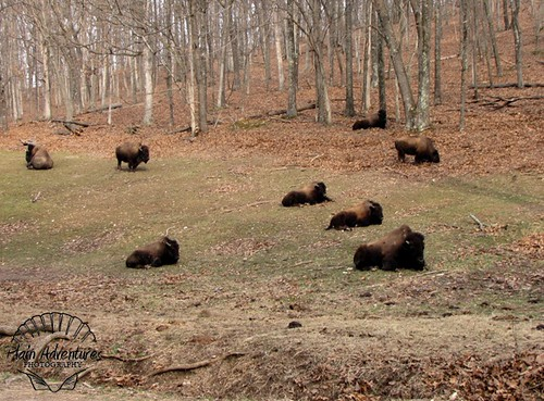 Buffalo Herd St. Louis watermark
