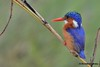 DSC_7540 (Arno Meintjes Wildlife) Tags: africa nature animal southafrica wildlife safari krugerpark bird1 malachitekingfisher alcedocristata arnomeintjes