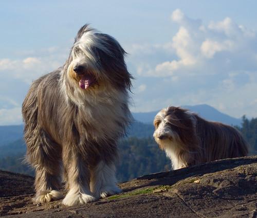 Beardie Mountaineers