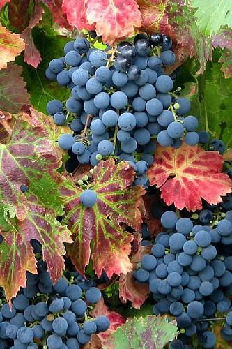Grape Vines on a Garden Arbor