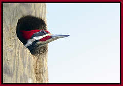 Pilliated Woodpecker (billkominsky ) Tags: bird nature birds wildlife wetlands everglades naturesfinest blueribbonwinner perfectpicture specanimal animalkingdomelite impressedbeauty isawyoufirst avianexcellence excellenceinavianphotography diamondclassphotographer freenature
