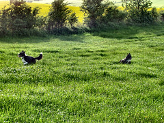 Dogs in the meadow (allybeag) Tags: summer dogs field grass long meadow pace