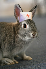 Nurse Poppy (Mark Philpott) Tags: pet house rabbit bunny love netherlands grey dwarf blu poppy nurse caring