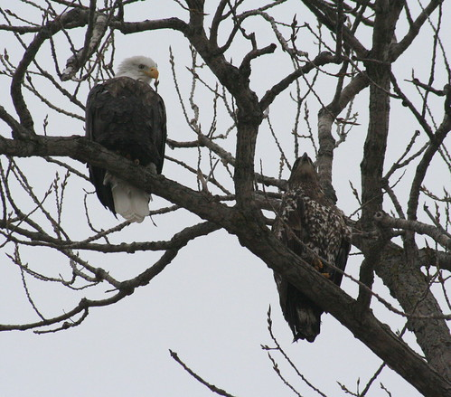 bald eagles in tree together 2