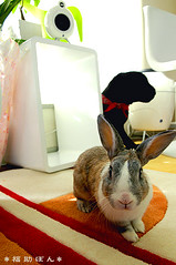 fukusuke-pon  (fukusuke-pon ) Tags: rabbit bunny room