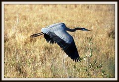 Bird - Great Blue Heron flying (blmiers2) Tags: favorite bird heron nature beautiful birds geotagged flying wings florida wildlife birding flight feathers titusville blueheron greatblueheron avian herons merrittisland ardeidae ardeaherodias ciconiiformes blueherons birdphoto heronbird birdphotos ttcu nikond40x birdsofnorthamerica thegreatblueheron cfbwbirdtour heronbirds blm18 blmiers2
