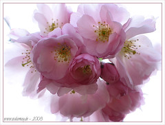 sakura - tenderness - so voller Zartheit...