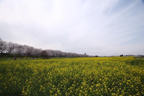 """幸手市""""権現堂の桜堤"""""""