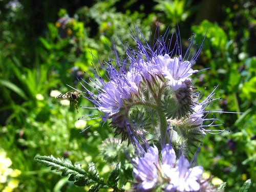 Phacelia + Syrphidae