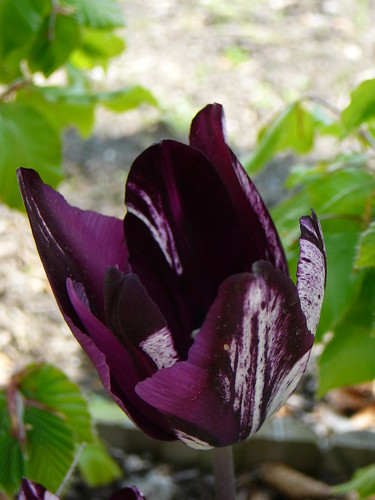 Tulpen 2008 (10)