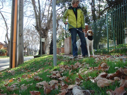 A walk with Niki, the Pointer.
