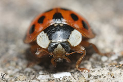 Coccinelle (Haentjens Raphal - Macropixels) Tags: macro male nature beautiful up closeup wow insect close belgium belgique magic best stunning excellent ladybird magical arthropods arthropoda insecte raphal macrophotography wallonie coleoptera macrography insecta hexapoda pterygota harmoniaaxyridis eukaryotes bilateria ecdysozoa neoptera endopterygota macrophotographie stuning eukaryota macrographie haentjens macropixels protostomia mandibulata bilaterians protostomes ecdysozoans panarthropoda dicondylia atelocerata panhexapoda