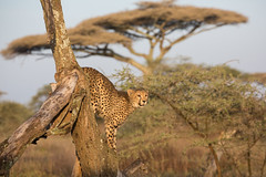 Play time (Ring a Ding Ding) Tags: 2017 acinonyxjubatus africa ndutu nomad serengeti tanzania cat cheetah nature playing predator safari wildlife arusharegion ngc