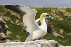 show off (BarryKelly) Tags: ganet bird saltee wexford ireland wing flap rock
