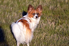 Cody looking (Pappup2010) Tags: dog pet cute animal butterfly puppy toy small sable canine papillon pup breed pap toybreed butterflydog whiteandsable