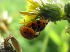 Hold on Mate! (Debi's kids (Here very little)) Tags: macro nature canon bug insect beetle ladybird ladybug beautifulmonsters