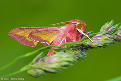 Deilephila porcellus (Serkiz Oleg) Tags: pink macro art nature butterfly lens prime eyes nikon zoom flash tubes moth sphingidae extension reversed softbox diffuser macrophotography deilephilaporcellus d80 sigma150mm deilephilaelpenor nikond80 smerinthinae serkizoleg sigma150mm28mmapomacro