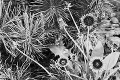 Experimental (Mika Hirsimki) Tags: camera june yard canon suomi finland garden is mark iii ii 1d fi usm tampere ef piha 70200mm puutarha objectives 2011 keskuu f28l pirkanmaa canon1dmarkiii ef70200mmf28lisiiusm