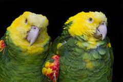 Two yellow-headed amazons together (Tambako the Jaguar) Tags: friends two portrait cute green bird birds yellow zoo switzerland nikon sunny together perched frauenfeld d4 yellowheadedamazon plttlizoo
