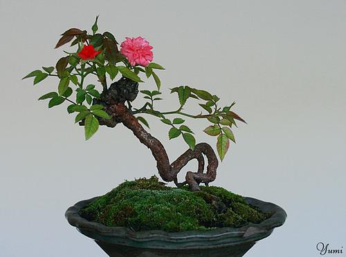 Bonsai Beginnings The Miniature Rose As A Bonsai
