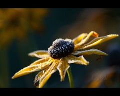 First frost ( B i b b i ) Tags: flowers autumn flower fall canon frost sweden stockholm explore blomma sverige rudbeckia blommor asteraceae blackeyedsusan hst 2007 allotmentgarden 30d yellowdaisy hsselby browneyedsusan naturesfinest rudbeckiahirta gloriosadaisy canon30d brownbetty interestingness223 i500 sigma70300mmf456apodgmacro kolonitrdgrd platinumphoto anawesomeshot blackiehead browndaisy goldenjerusalem poorlanddaisy sommarrudbeckia yellowoxeyedaisyflora explore14oct07 hsselbyslottskolonitrdgrd thehsselbycastleallotmentgarden
