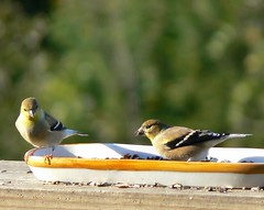 Goldfinches.  I love em! (Lollie Dot Com) Tags: bird birds goldfinch americangoldfinch goldfinches americangoldfinches pairofbirds femalegoldfinch lolliedotcompix p1340159ncc1 femalegoldfinches