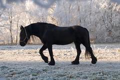 Black horse in winter landscape (Focusje (tammostrijker.photodeck.com)) Tags: blue winter sky horse snow black holland tree ice netherlands dutch nijmegen landscape frost naturesfinest colorphotoaward isawyoufirst