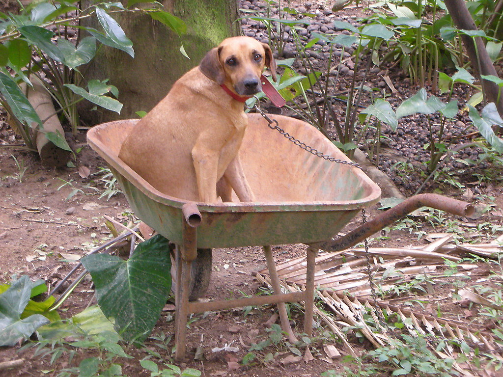 Dog in a wheelbarrow