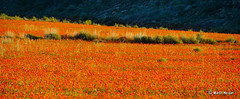 Namaqualand wild flowers (Martin_Heigan) Tags: camera flowers orange sun flower nature daisies digital landscape southafrica nikon afternoon close desert martin d70 diagonal photograph