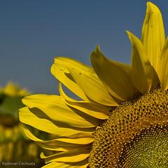 Sunflower (Navodar) Tags: flowers summer flower detail nature yellow closeup d50 catchycolors outside nikon close outdoor experiment sunflowers sunflower nikonstunninggallery p1f1