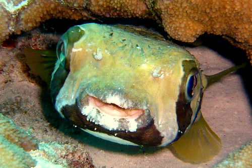 Smile of Porcupinefish