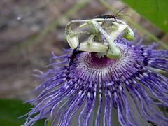 Passifloraceae, Passiflora incarnata (Passion Flower) (duneaster) Tags: passiflora passifloraceae passionflower