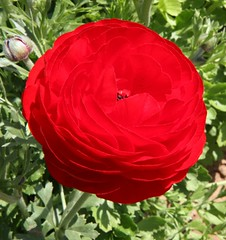 Red Ranunculus (San Diego Shooter) Tags: pink flowers red rose yellow daisies colorful sandiego carlsbadflowerfields ranunculus lilies tulip daisy carlsbad