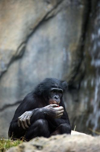 Sitting Bonobo