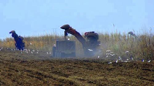 Harvesting Sugar Cane in South Florida