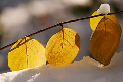 Winter Leaves (avirus) Tags: winter white snow tree leaves yellow leaf bokeh 70200lis