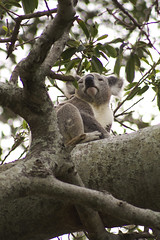 How Much Can A Koala Bear (WilliamBullimore) Tags: wild tree cute nature leaves animal fauna leaf branch australian adorable fluffy australia brisbane depthoffield koala cuddly queensland trunk species eucalyptus marsupial gumtree bigears claws dropbear nativespecies koalabear novideo upatree wellingtonpoint differentialfocus anawesomeshot focusontheforeground