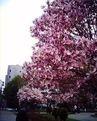 漸層粉紅的花瓣