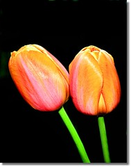 Happy Mother's Day Ladies! (Wenspics) Tags: pink orange black flower green spring stem tulips background mothersday opt wenspics platinumphoto flstudios toyoutoomyfriend ificouldhavetakentheseformtheconservatorythisiswhatmymomwouldhavegotten wwwfotolynxcom