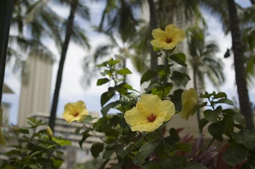 Hibiscus in Waikiki