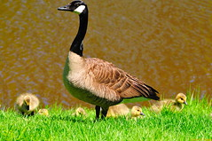 Oh, Canada Goslings, We Stand on Guard for Thee! :)  (20080530-140416-PJG) (DrgnMastr) Tags: canada birds geotagged geese newbrunswick moncton canadagoose brantacanadensis centennialpark animalkingdomelite worldbest anawesomeshot impressedbeauty avianexcellence allrightsreserveddrgnmastrpjg eiap rawjpg geo:lat=46087013 geo:lon=64816053 pjgergelyallrightsreserved