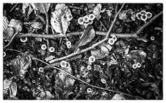 forest floor (Francis Mansell) Tags: eppingforest leaf deadleaf twig leaflitter beechleaf hollyleaf toadstool fungus fungi monochrome blackwhite niksilverefexpro2 plant