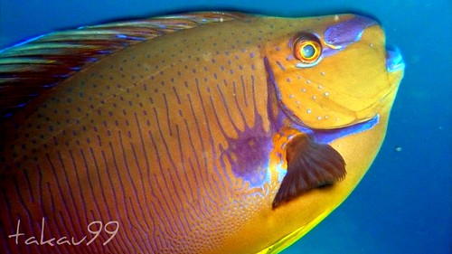Bignose unicornfish, Similan Thailand