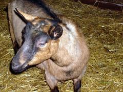 BUTTIN'HEADS MOONLIGHT EXPRESS - B001307738 (Erin Cooper Young Living) Tags: goat doe american moonlight express dairy genetics oberhasli adga goat:sex=doe buttinheads goat:registry=american goat:breed=oberhasli b001307738 goat:regnumber=b001307738 goat:regname=buttinheadsmoonlightexpress