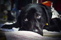 [フリー画像] 動物, 哺乳類, 犬・イヌ, ラブラドール・レトリバー, 201106161100